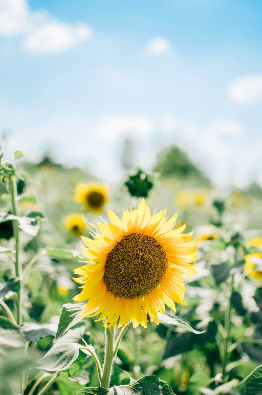 richmond virginia sunflower picking - richmond virginia blog | For more cute summer outfits, head to bylaurenm.com